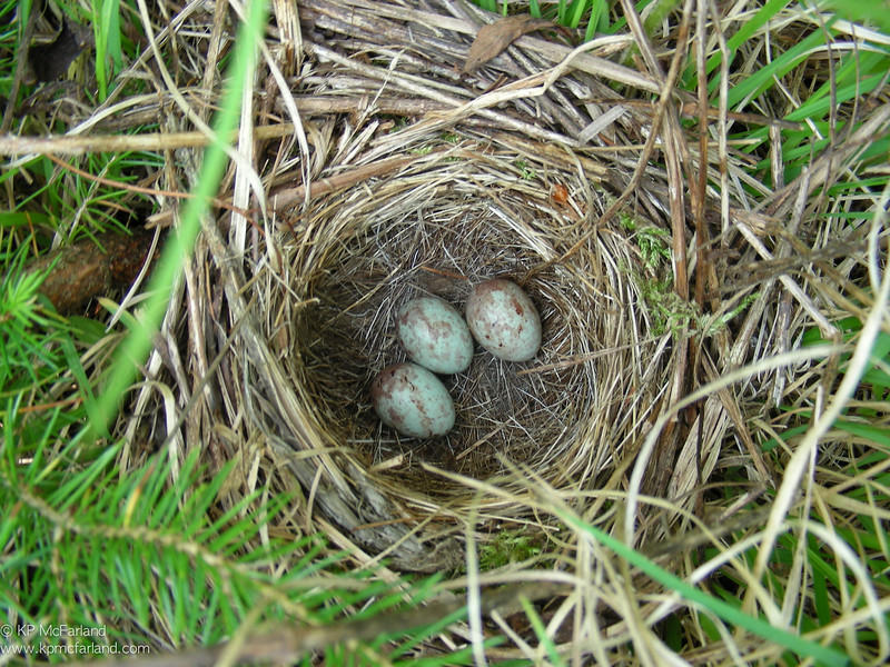 White-throated Sparrow nest