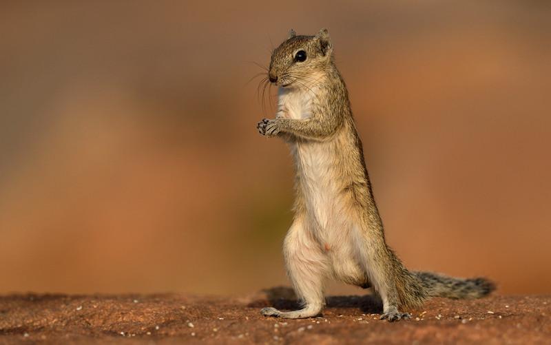 Squirrel-poser-hampi.jpg