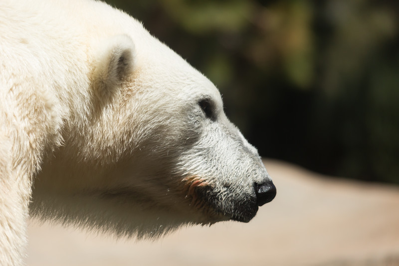 polar bear (36 of 50).jpg