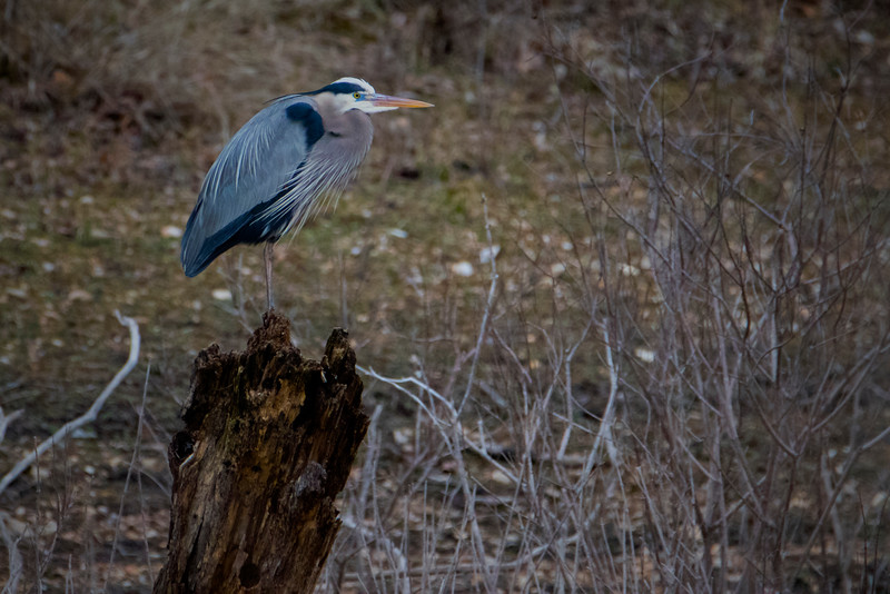 2.28.18 - Prairie Creek Marina: Great Blue Heron