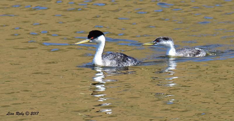 Western Grebes adult and juvenile - 6/14/2017 - Lake Hodges Bernardo Bay Trail