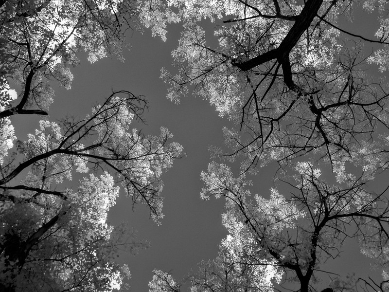 Cottonwoods in Infrared