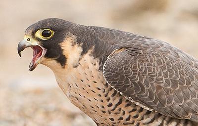 Peregrine Falcon_II