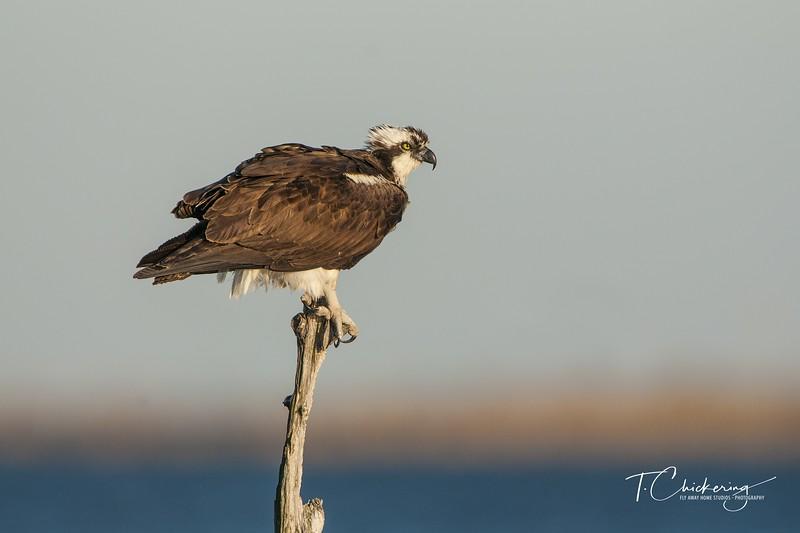 Osprey Female Perching in Snag-1522613211206.jpg