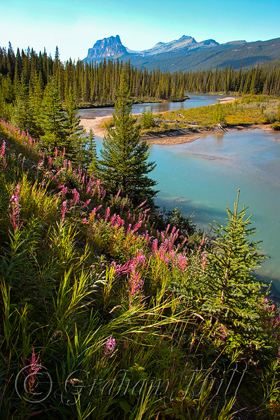 Fireweed and Castle Mountain, Banff National Park