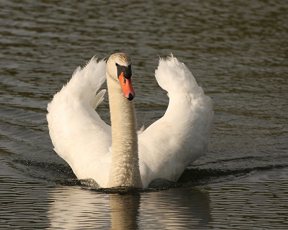 2009 - Swans