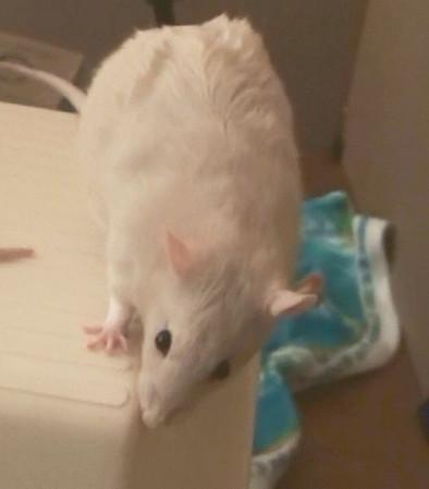 Gwen's Pet Rats - The Girls