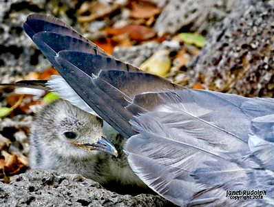 Swallow Tail Gull Baby 2S.jpg