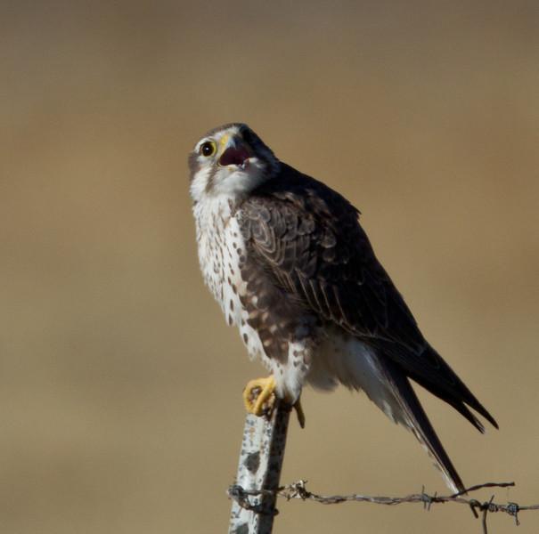 Prairie Falcon  Crowley Lake  2013 10 20.CR2