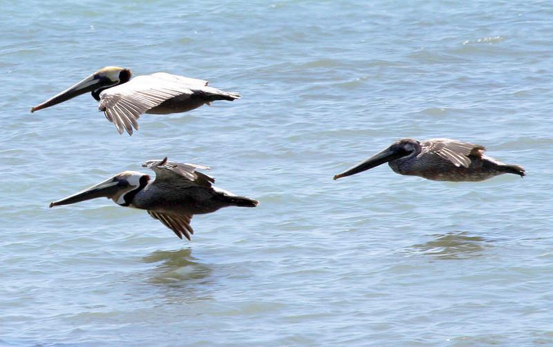 pelicansskimming2.jpg