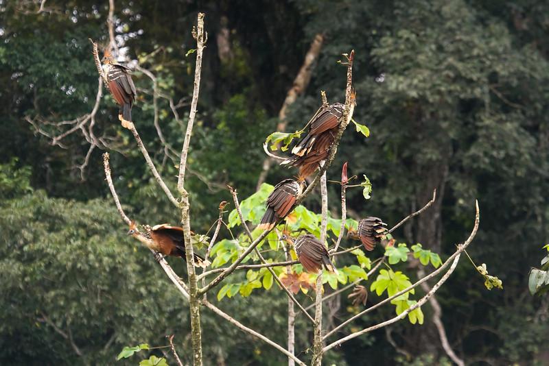 Hoatzins at Cocha Camungo near Manu Wildlife Center, Peru (2008-07-09).psd