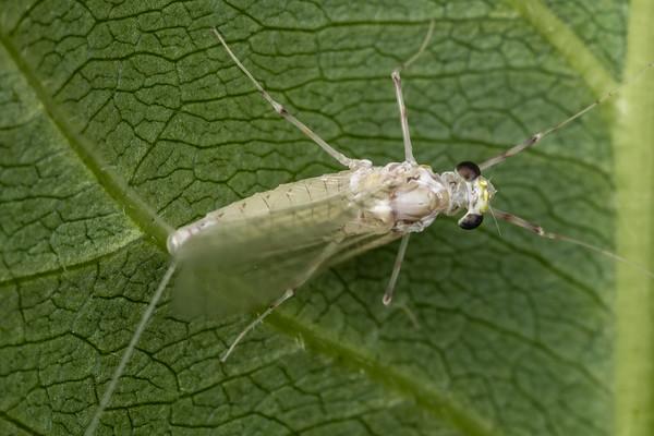 Maccaffertium mexicanum (USA)