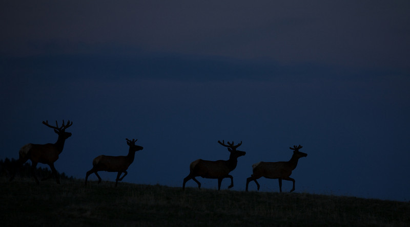Summer bulls skylined on Wyoming's Bighorn Plateau