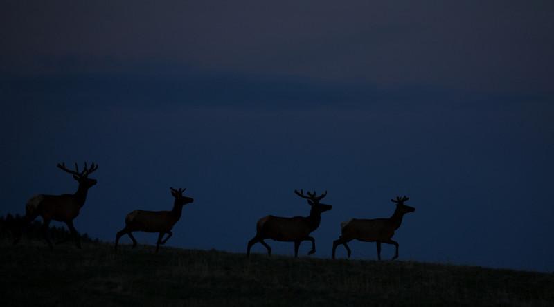 Summer bulls skylined on Wyoming's Bighorn Plateau