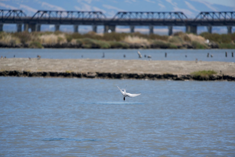Foster's Tern at Don Edwards Refuge in SF Bay