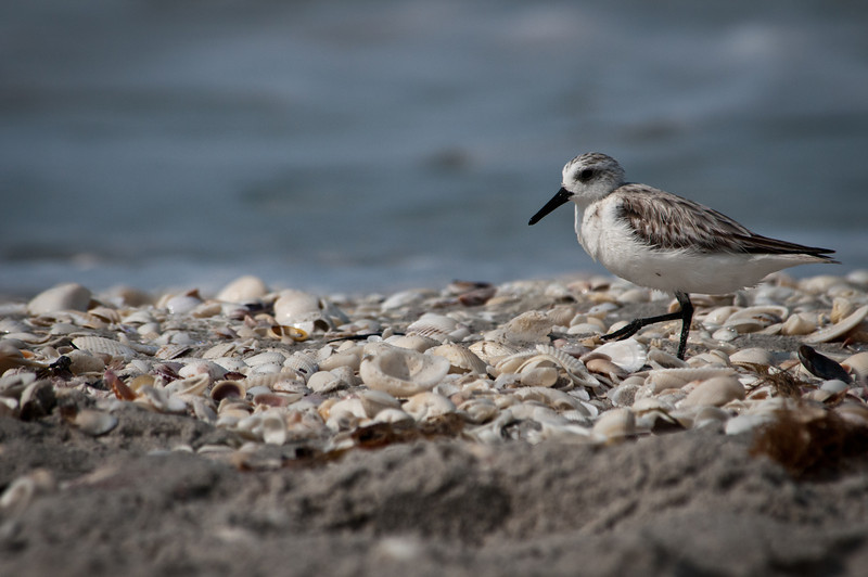 Sanderling coverbird for Sanibel gallery