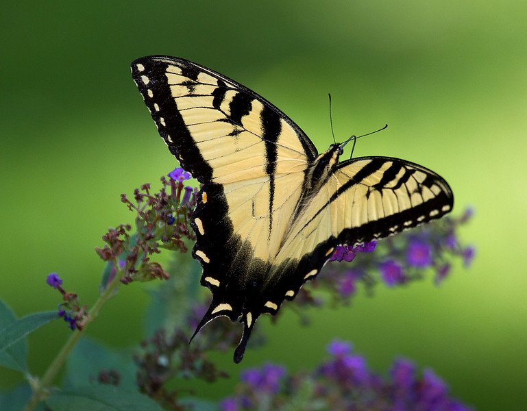 Tigerswallowtail 2.jpg