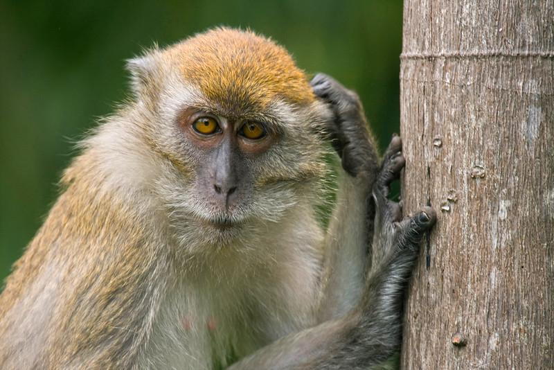 Monkey in the wild, Malaysia