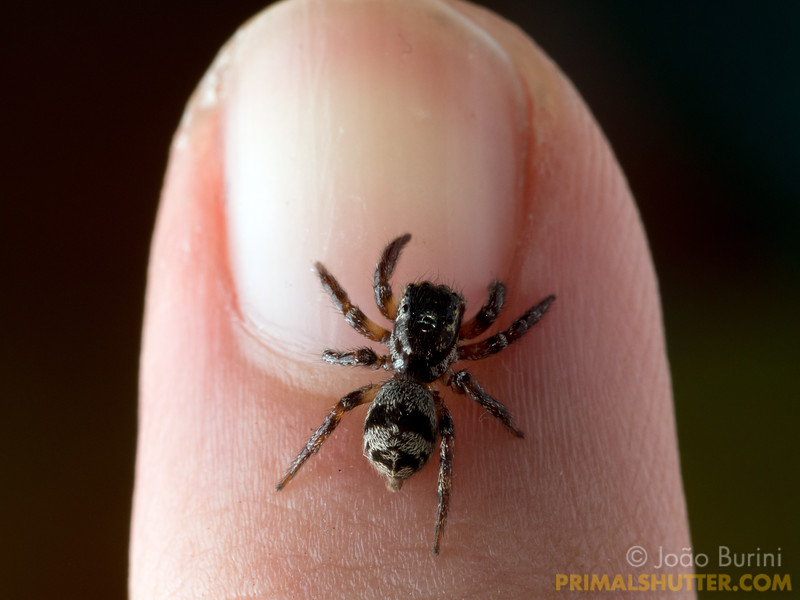 Small jumping spider on a finger