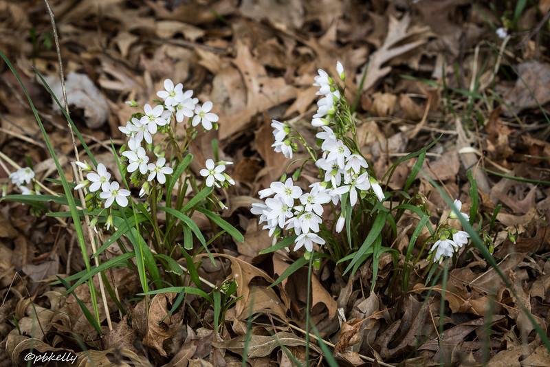 spring beauties 041915.jpg