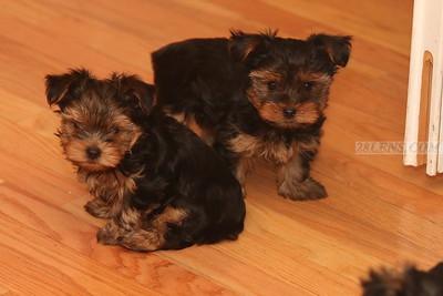 Vacation Lane Yorkie Puppies 12-13-2013