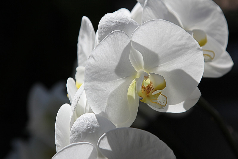 white-orchid-sm.jpg