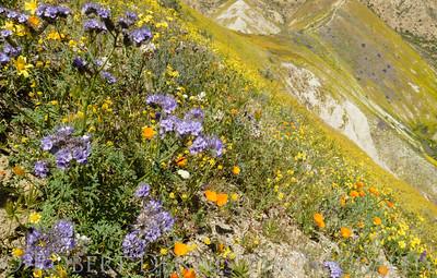 Carizzo Plain Bloom