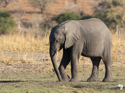 A young elephant
