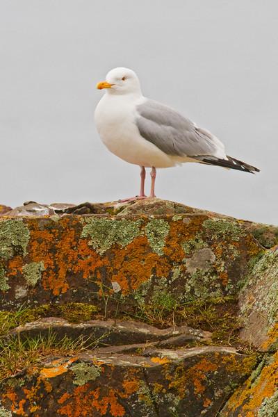 Gull - Herring - Croftville Road - Grand Marais, MN