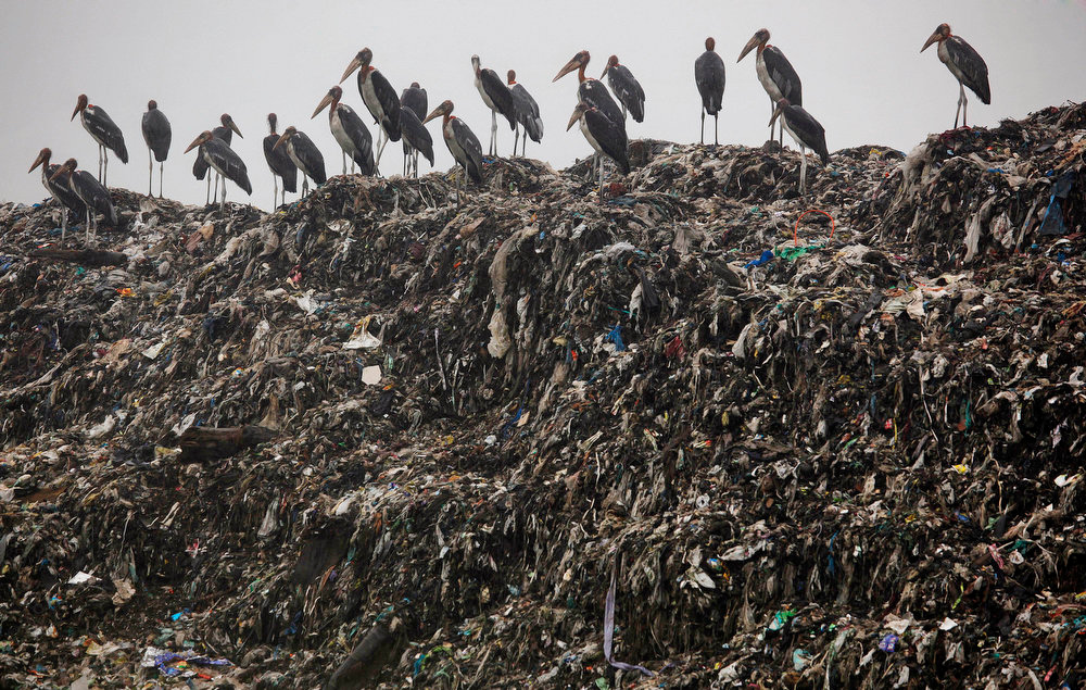 . Greater Adjutant storks stand at a garbage dump near Deepor Beel wildlife sanctuary on the outskirts of Gauhati, India, Wednesday, June 5, 2013. The World Environment Day is celebrated June 5 every year by the United Nations to stimulate global awareness on environmental issues. Assam has a large concentration of the Greater Adjutant Storks but their numbers are gradually declining due to the loss of wetlands, habitat and declining availability of food. (AP Photo/Anupam Nath)