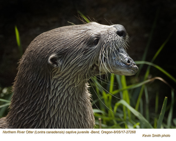 Northern River Otter AC27268.jpg