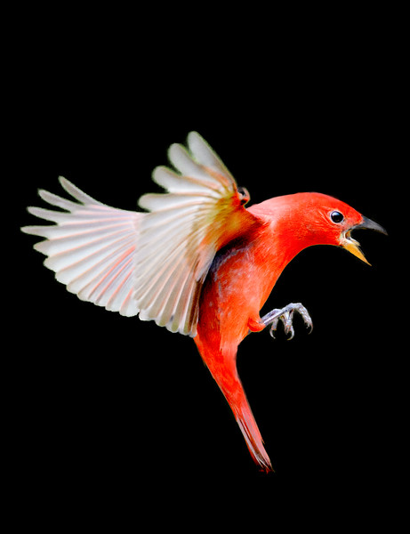 Flying summer tanager