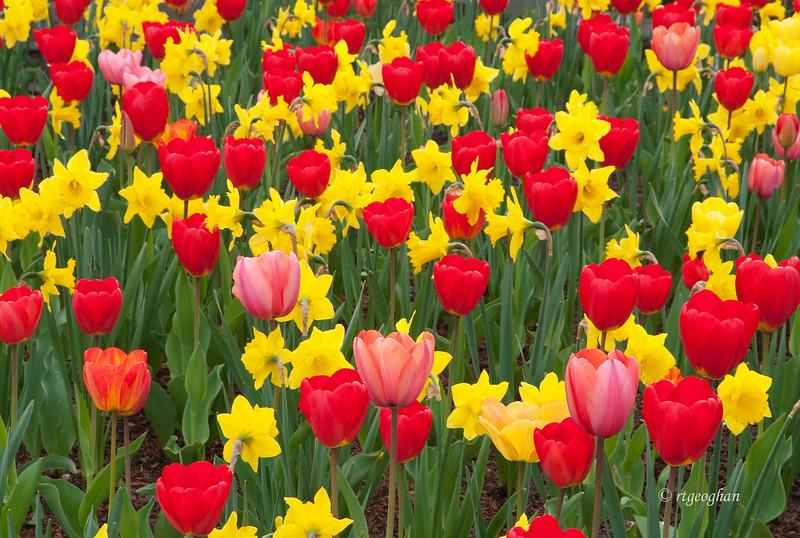 April 24_Tulips-Daffodils_0246.jpg