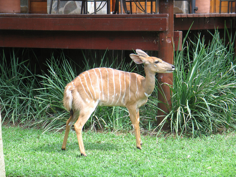 One of several animals having a snack outside the chalet, this baby and her parents were used to humans walking by and grazed as desired around the complex.