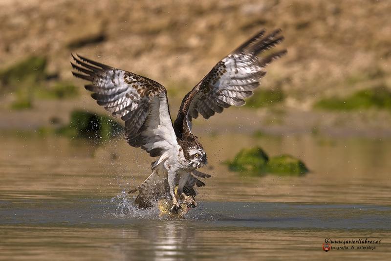 JL1_6031_Aguila pescadora.jpg