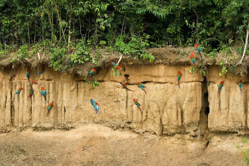 Red-and-Green Macaws (6) at Macaw Lick near Manu Wildlife Center, Peru (2008-07-10).psd