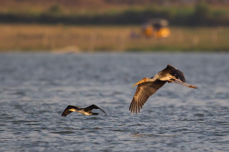 Great Cormorant & Painted Stork in flight - Ameenpur Lake, Hyderabad, India