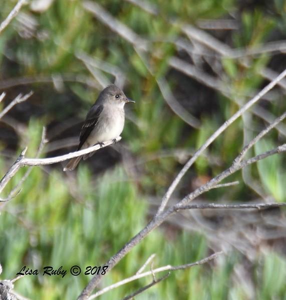 Western Wood-peewee - 5/13/2018 - Flintkote Ave. Torrey Pines State Reserve
