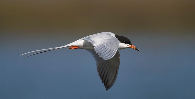 In-Flight Tern