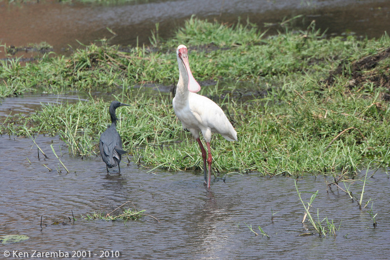 Black heron and an African spoonbill