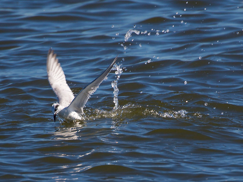 A Sandwich Tern emerges empty after its dive.