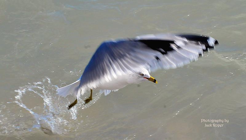 Sea Gull jpg.jpg