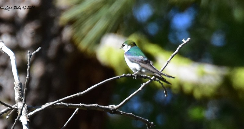 Violet-green Swallow - 6/4/2016  - Agua Dulce Creek, Mt. Laguna