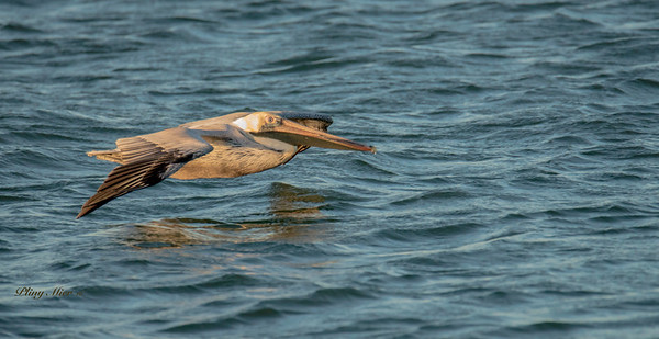 Brown Pelican 2_DWL5297.jpg