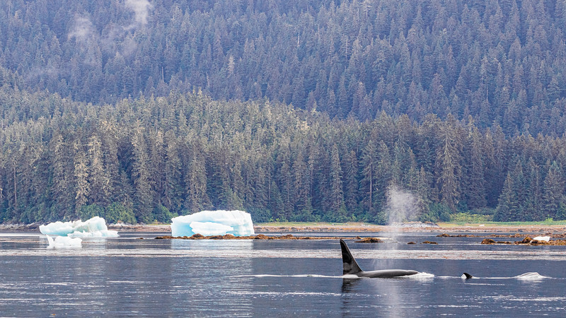 Orcas and Iceberg