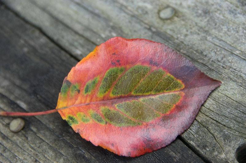 Leaf with in a leaf.