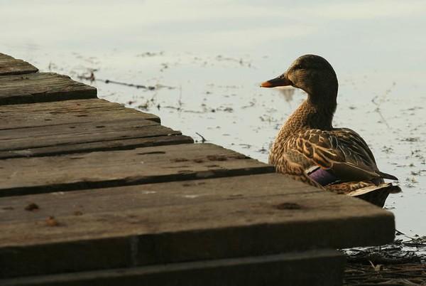 2008 - Duck Tales