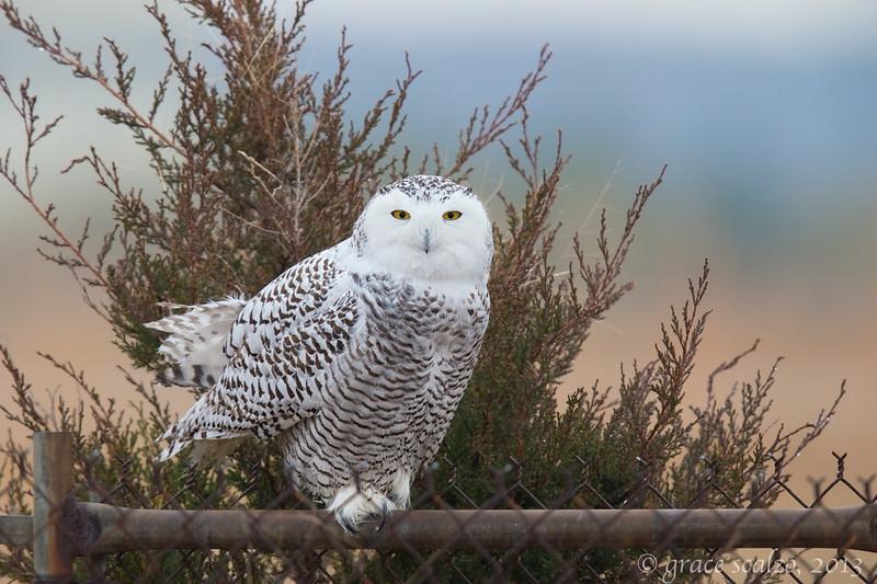 Snowy Owl_O8U0794-Edit.jpg