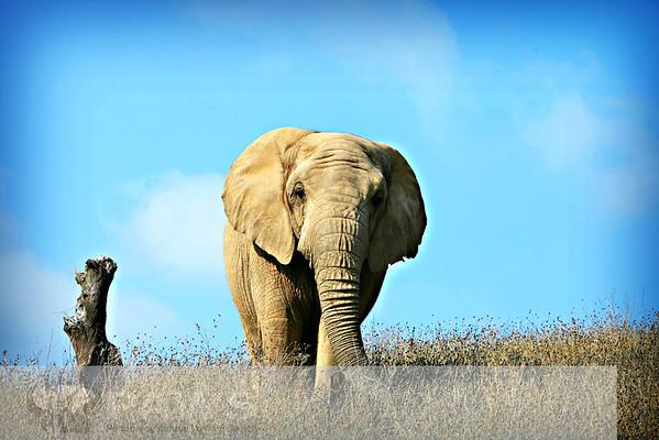 Mara African Elephant