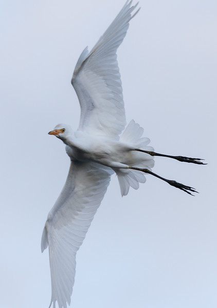 Cattle Egret in Flight.jpg